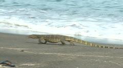 Large Monitor Lizard Walks Along Beach Stock Footage
