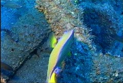Blue Angelfish 12 - stock footage