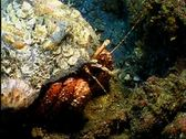Hermit Crab 14 Stock Footage