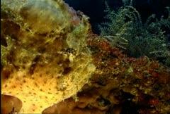 Frogfish Anglerfish 17 Stock Footage