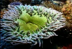 Green Anemone 21 - stock footage