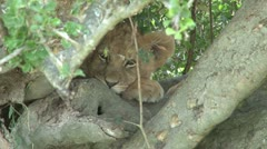 A baby lion hiding Stock Footage