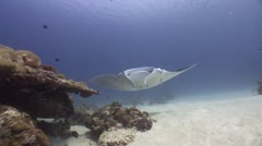 Big Glant Manta swimming crosses the reef (Part 2) - stock footage