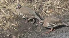P01751 Chukar Partridge Stock Footage