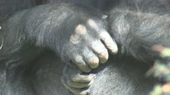 P01756 Gorilla Hands and Face - stock footage