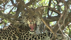 A very angry leopard in a tree Stock Footage