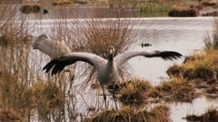 Stock Video Footage of Common Crane Bird