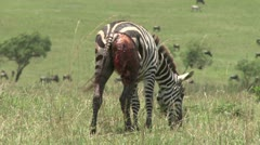 Zebra wounded - stock footage