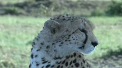 Close up of cheetah face Stock Footage