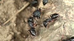 Monster ants fighting (largest ant species, Southeast Asia) Stock Footage