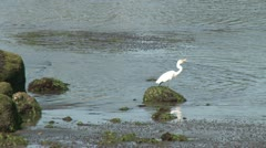 Egret wading in the water (2 of 2) Stock Footage