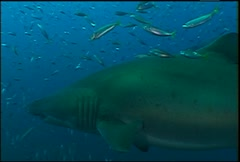 Sand Tiger Sharks 08 - stock footage