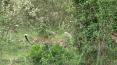 leopard climbs a tree - stock footage
