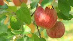 Apple trees with red apples. Stock Footage