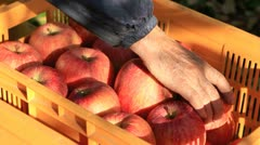 Farmer harvests of apples and puts in a crate. - stock footage