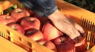 Stock Video Footage of Farmer harvests of apples and puts in a crate.