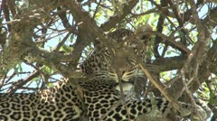 Leopard peeps from a hiding Stock Footage