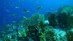 Gorgonias, fire coral, and Anthias in the Red Sea Stock Footage