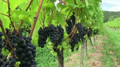 Pinot noir 03 Stock Footage