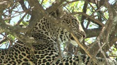 Leopard yawning 2 Stock Footage