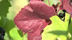 Pinot noir 09 Blatt close Stock Footage