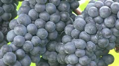 Pinot noir 10 close Stock Footage