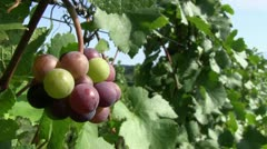 Pinot noir 17 close Stock Footage