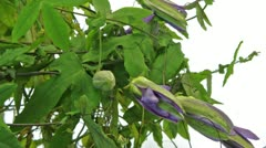 Passion flower timelapse wider Stock Footage