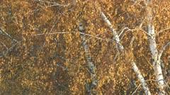 Autumn birch. Stock Footage