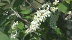 Bird cherry. Stock Footage