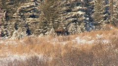 Solitary Young Bull Moose Walks by Snowy Forest's Edge 1 Stock Footage