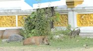 Stray Dog at Temple Stock Footage