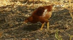 Organic chicken farmland Stock Footage