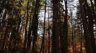 Pan through thick pine forest with direct sun Stock Footage