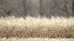 Fall Corn Stalks - Ready for Harvest Stock Footage