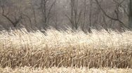 Stock Video Footage of Fall Corn Stalks - Ready for Harvest