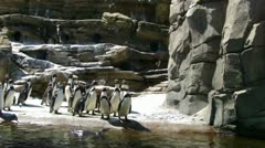 Humboldt penguins  9885 - stock footage