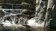 Humboldt penguins  9885 Stock Footage