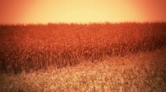 Cornfield Sunset - Harvest Background - 2 Stock Footage