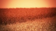 Stock Video Footage of Cornfield Sunset - Harvest Background - 2