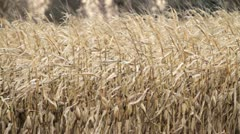 Fall Corn Stalks Blow in Wind Stock Footage