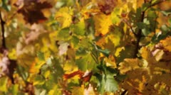 Wine Vineyard Pan Stock Footage