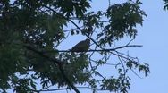 Stock Video Footage of Dove In A Tree