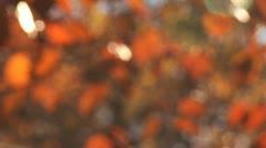 Rack focus on sunny orange leaves Stock Footage