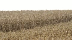Corn Blowing - Half Harvested Stock Footage