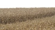 Stock Video Footage of Corn Blowing - Half Harvested