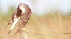 Crested Caracara (Caracara ) Stock Footage