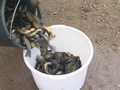 Tench breeding industry. Transfer bucket of fish. Stock Footage