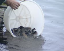 Fish breeded in captivity released into lake. Stock Footage