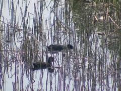 Water birds swimming and searching for food among the reeds. Stock Footage